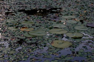 Photo of Lily pads from web video shoot